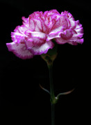 Colourful Originals - Pink and White Carnation. by Terence Davis
