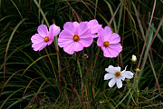 Drama Photographs Posters - Pink and White Cosmos in the Garden Poster by Christine Montague