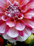 Dinner-plate Dahlia Prints - Pink and White Dahlia Print by Cindy Wright