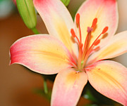 Melissa Haley - Pink and Yellow Lily 3