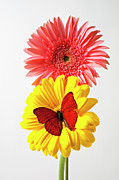 Butterfly Prints - Pink and yellow mums Print by Garry Gay