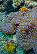 Sea Anemone Posters - Pink Anemonefish Guard Their Anemone Poster by Michael Wood