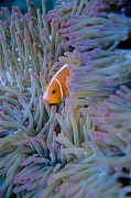 Animal Shelter Posters - Pink Anemonefish in sea anemone Poster by Sami Sarkis