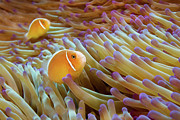 Sea Anemone Posters - Pink Anemonefish Poster by James R.D. Scott
