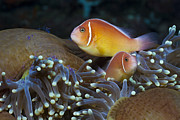 Featured Art - Pink Anemonefish Pair On Magnificent by Reinhard Dirscherl
