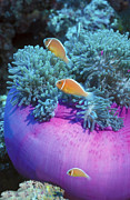 Papua New Guinea Framed Prints - Pink Anemonefish Protect Their Purple Framed Print by Michael Wood