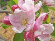 Tree Blossoms Prints - Pink Apple Blossoms art prints Spring Trees Baslee Troutman Print by Baslee Troutman Fine Art Photography