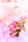 Monika Strigel Acrylic Prints - Pink Appleblossom Acrylic Print by Monika Strigel