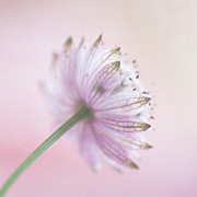Pink Astrantia Print by Jill Ferry
