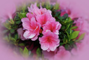 Indiana Flowers Framed Prints - Pink Azaleas Framed Print by Sandy Keeton