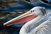 Backed Posters - Pink Backed Pelican Poster by Julie L Hoddinott