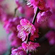 Stamen Photos - Pink Beauty by I love Photo and Apple.