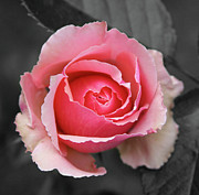 Extreme Floral Images - Pink Beauty by Kathy Dahmen
