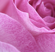 Purple Rose Prints - Pink Beauty Print by Kristin Kreet