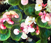 Perennials Painting Posters - Pink Begonias Poster by Elaine Plesser