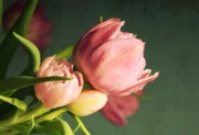 Tulips - Pink Blooms by Cathie Tyler