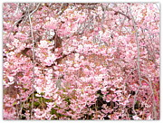 Grey And Pink Prints - Pink Blossoms Print by Carol Groenen
