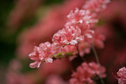 Painterly Photos - Pink Blossoms by Mike Reid