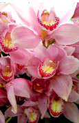 Orchids Digital Art - Pink Blossoms by Mindy Newman