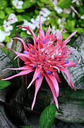 Bromeliad Posters - Pink Bromeliad Poster by Andee Photography