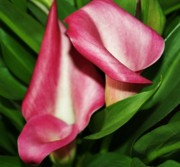 Pink Calla Lillys Print by Cathie Tyler