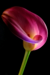 Calla Lily Photo Posters - Pink Calla Lily Poster by Dung Ma