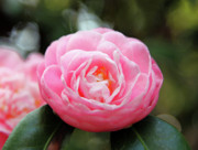 Pink Camellia  Print by Dean  Triolo