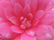Pink Camellia Print by Juergen Roth