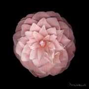 Camellia Photo Metal Prints - Pink Camellia Metal Print by Richard Wilhelm