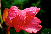 Pink Canna Lily Print by Susan Herber