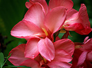 Canna Lily Photos - Pink Canna by Patricia Griffin Brett