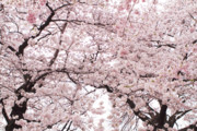 Cherry Blossom Metal Prints - Pink Cherry Blossom Tree Metal Print by Ariane Moshayedi