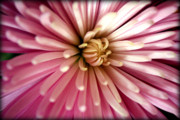 Delicate Bloom Prints - Pink Chrysanthemum Print by Susie Weaver