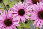Cone Flowers Posters - Pink Coneflowers (echinacea) Poster by Mark Williamson