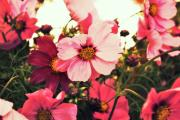 Cosmos Photos - Pink Cosmos by Cathie Tyler