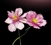 Pink Cosmos Flower Print by Gitpix