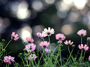 Beginnings Prints - Pink Cosmos Flower Print by Marie Eve K.A.
