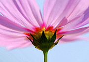 Florida Flowers Metal Prints - Pink Cosmos Metal Print by Rich Franco