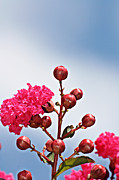 Kayecee Spain Acrylic Prints - Pink Crape Myrtle- Fine Art Photography Acrylic Print by KayeCee Spain