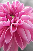 Fish Artwork - Pink Dahlia Flower by Miss Dawn