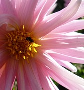 Nature Drawings - Pink Dahlia with Bee by Therese Alcorn