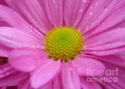 Raindrops On Flowers Prints - Pink Daisy with Raindrops Print by Carol Groenen