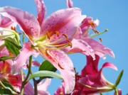 Lilies Posters - Pink Day Lilies Floral art prints Blue Sky Botanical Lilies Baslee Troutman Poster by Baslee Troutman Fine Art Photography