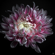 Single Flower Prints - Pink Dhalia Print by Flower photography by Viorica Maghetiu