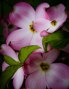 Dogwood Blossom Framed Prints - Pink Dogwood Blossoms Framed Print by David Patterson
