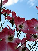 Dogwood Photos - Pink Dogwood by Julian Bralley