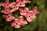 Dogwood Blossom Photo Metal Prints - Pink Dogwood Metal Print by Wenata Babkowski
