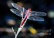 Dragonfly Framed Prints - Pink Dragonfly Framed Print by Carol Groenen