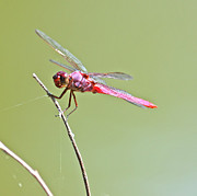 Isolated Pyrography Prints - Pink Dragonfly Print by David Cutts