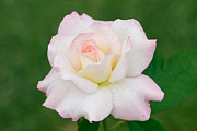 White Background Originals - Pink Edge White Rose by Atiketta Sangasaeng